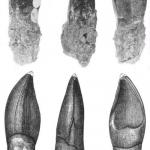 Oplosaurus teeth