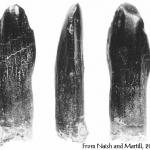 Pleurocoelus teeth