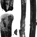 Caulkicephalus longbones