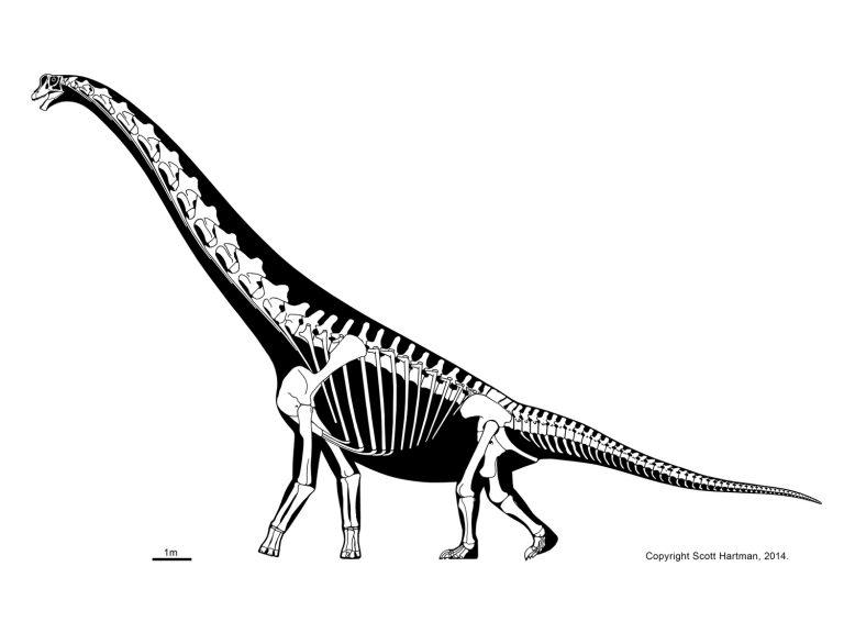 brachiosaur skeleton