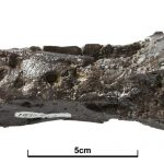 Eotyrannus nasals
