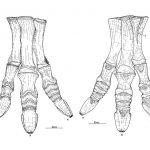 Mantellisaurus foot