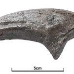 Neovenator claw