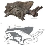 Valdosaurus pelvis