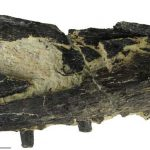 Baryonyx rostrum