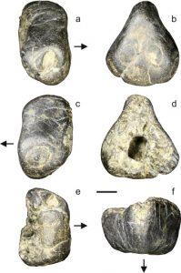 Coloborhynchus rostrum