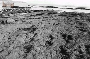 The fossil forest at Hanover Point