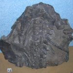 Vectocleidus at Dinosaur Isle