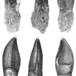 Oplosaurus teeth