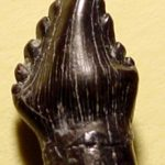 Polacanthus tooth