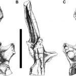 Rebbachisaurid vertebrae