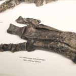 Valdosaurus foot