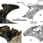 Pelvis of Vectidraco
