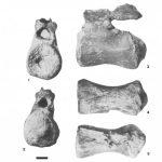 Iuticosaurus caudal vertebra NHMUK R1886