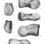 Iuticosaurus caudal vertebra NHMUK R151