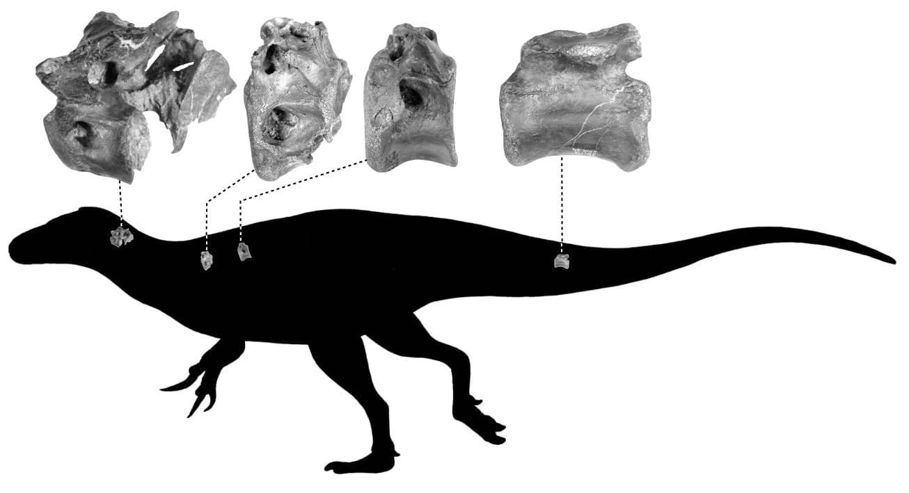 Vectaerovenator inopinatus silhouette by Darren Naish