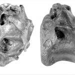 Vectaerovenator inopinatus vertebra