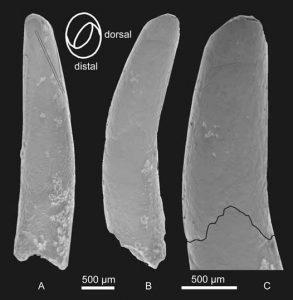 Gnathosaurine tooth